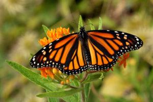 Corn Refiners For Monarchs