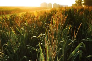 corn growing in a field at sunset